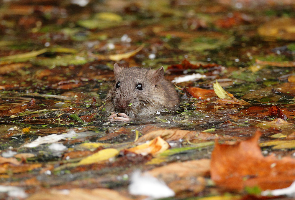 Brown rat eating amoung autumn leaves in river, Rattus norvegicus