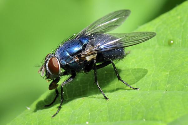 Bluebottle fly (Calliphora erythrocephala)  on rose leaf. Wiltshire garden, UK.